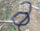 Cố bắt con rắn cực độc, người đàn ông bị cắn chết