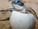 Rùa biển đua nhau lên bờ đẻ 60 triệu quả trứng