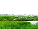 Ngắm đàn cò kiếm ăn trên cánh đồng lúa giữa mùa dịch Covid-19