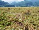 Hơn 10.000 hecta lúa gần thu hoạch đổ rạp do mưa lớn