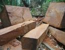 Mua bán hơn 15m3 gỗ, bị phạt 105 triệu đồng