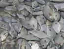 Hàng ngàn con cá chết bí ẩn dạt vào bãi biển hoang vắng ở Mexico