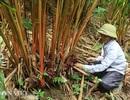 """Trồng """"vàng đỏ"""" ở rừng rậm, dân ở đây thu trăm triệu mỗi năm"""