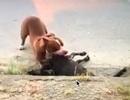 Kinh hoàng chó Pitbull thả rông cắn con dê chết trong vòng chưa đầy 1 phút