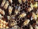 Giải mã bí ẩn sinh học của ong mật Nam Phi