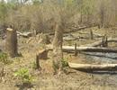 """Những khoảnh rừng bị """"cạo trọc"""" trong vùng giáp ranh Ia Pa tại Gia Lai"""