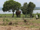 Vụ voi quật chết người: Cả chục nài voi tìm cách làm dịu con vật hung hãn