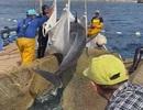 Clip: Ấm áp khoảnh khắc ngư dân thả cá heo trở về với biển