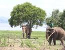 """Khi voi Tây Nguyên bỗng """"hóa điên"""""""