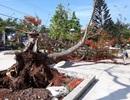 Cây phượng cao 10m bật gốc đổ giữa sân trường