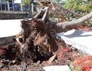 Đắk Lắk: Rà soát toàn bộ cây xanh trong trường học