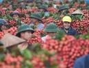 Hơn 300 người Trung Quốc được phép nhập cảnh vào Việt Nam mua vải thiều