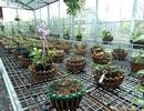 Ngắm vườn lan đột biến, giá trị gần 10 tỷ đồng tại Mê Linh