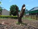 Đắk Lắk: Hàng loạt cây phượng bị đốn hạ, cắt trụi giữa sân trường