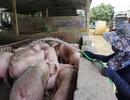 Lợn hơi trong nước tăng giá trở lại, bất chấp lợn sống từ Thái Lan lại về