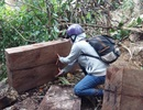 Đắk Lắk chỉ đạo điều tra, xử lý vụ phá rừng pơmu