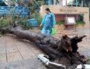 TPHCM: Chi phí chăm sóc cây xanh lớn, trường không có tiền