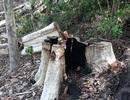 Tạm giữ 7 đối tượng liên quan đến vụ phá rừng quy mô lớn tại huyện Kbang