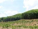 Lạ đời doanh nghiệp nhận tiền tỷ để trồng rừng phòng hộ bằng cây ngắn ngày