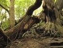Bíẩn chuyện cây cổ thụ bị xiềng xích chằng chịt suốt hàng trăm năm