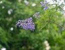 Thổn thức với thức hoa tím khiến người Hà Nội nhớ Đà Lạt