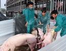 """Lo ngại người chăn nuôi """"bán tống, bán tháo"""" lợn thịt để """"vớt""""... giá!"""
