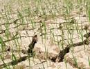 Nắng nóng kéo dài, hàng nghìn ha lúa có nguy cơ chết cháy