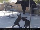 Video hai anh em gấu đen vật nhau khiến triệu người thích thú