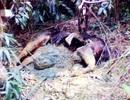 Phát hiện xác động vật nghi là bò tót đang phân hủy trong rừng