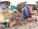 Thương lái tung tin đồn đóng cửa khẩu để hạ giá nông sản