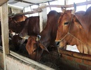Hạn hán, xâm nhập mặn khủng khiếp, nông dân lo cứu đói cho… bò