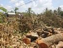 Nông dân ngậm ngùi đốn hạ vườn cây sau đợt hạn, mặn