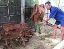 Bến Tre: Đổ xô xem con bò cái hạ sinh 3 con bê