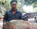 Bắt được cá nghi là sủ vàng nặng gần 6kg trên sông Hậu