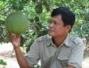 Thu tiền tỷ nhờ trồng bưởi da xanh