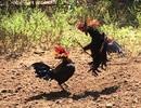 Cho phép tổ chức đá gà truyền thống trong dịp lễ, Tết nhằm thu hút khách du lịch