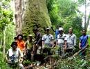 Khám phá rừng Pơmu vừa được công nhận là Cây Di sản ở Quảng Nam