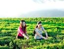 Mát xanh đồi chè hiếm hoi ở xứ Quảng