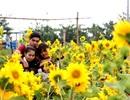 Vườn hướng dương khoe sắc vàng rực hút hồn giới trẻ Đà thành
