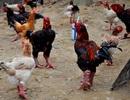 """Tiềm năng từ giống """"gà tiến vua"""" Đông Tảo"""