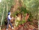 Quần thể 725 cây pơmu cổ thụ được công nhận Cây Di sản Việt Nam