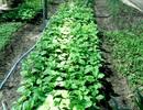 Đẩy mạnh phát triển rau hữu cơ ở Hội An
