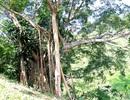 Phát hiện cây đa ngàn năm tuổi trên dãy Trường Sơn