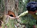Vụ rừng pơmu bị phá: Kỷ luật Đảng nhiều cán bộ