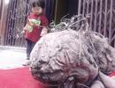 Củ khoai lang nặng hơn 50 kg