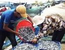 Ngư dân Nam Trung Bộ trúng đậm mùa cá cơm