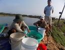 """""""Bỏ túi"""" hàng trăm triệu đồng mỗi năm nhờ nuôi cá bớp giống"""