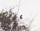 Đàn khỉ hàng chục con vào gần khu dân cư kiếm ăn