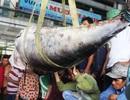 Người người đổ ra cảng xem cá ngừ vây xanh 300kg cực hiếm