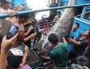 """Cá ngừ vây xanh """"khủng"""" bị mua giá """"bèo"""" vì bảo quản không đúng cách"""